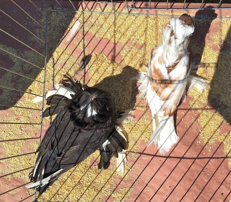 Others, like the Bokhara trumpeter, look like their head was chopped off and they squished another pigeon beneath their ostentatiously-feathered feet.