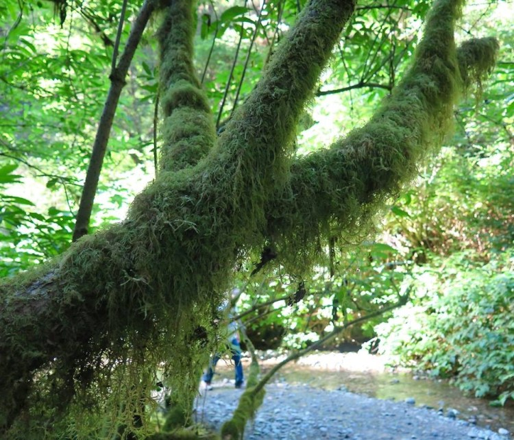 Almost every surface has something green growing on it: lichens hang from branches overhead, moss covers the rocks, and fallen trees have other trees growing on top of them.