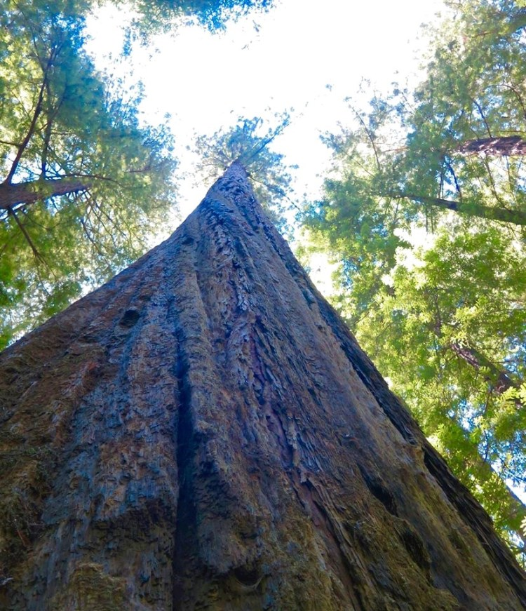Founders held the title of world's tallest tree until Rockefeller was discovered in Humboldt Redwoods State Park in 1957.