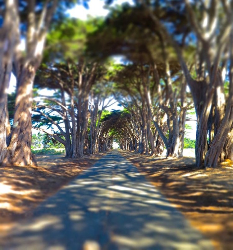 "The entrance way to the KPH Point Reyes Receiving Station. The Monterey cypress ""tree tunnel"" is a signature landscape feature that evokes some of the prestige that RCA placed in this profitable, historic operation."