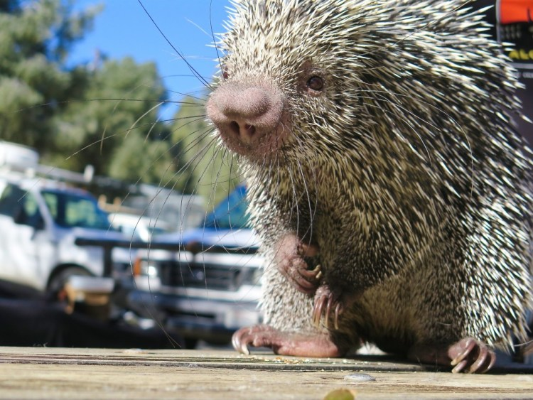 One of my favorite little critters was Boris, the prehensile-tailed porcupine.