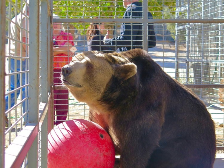 He's a Syrian brown bear who weighs in at approx. 575lbs...