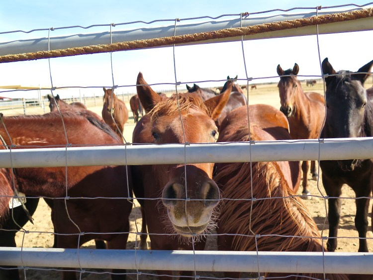 Adoptions have dropped significantly in recent years, from about 8,000 to just 2,000 a year. So a lot of these animals end up staying in the short-term corrals for a long period of time.