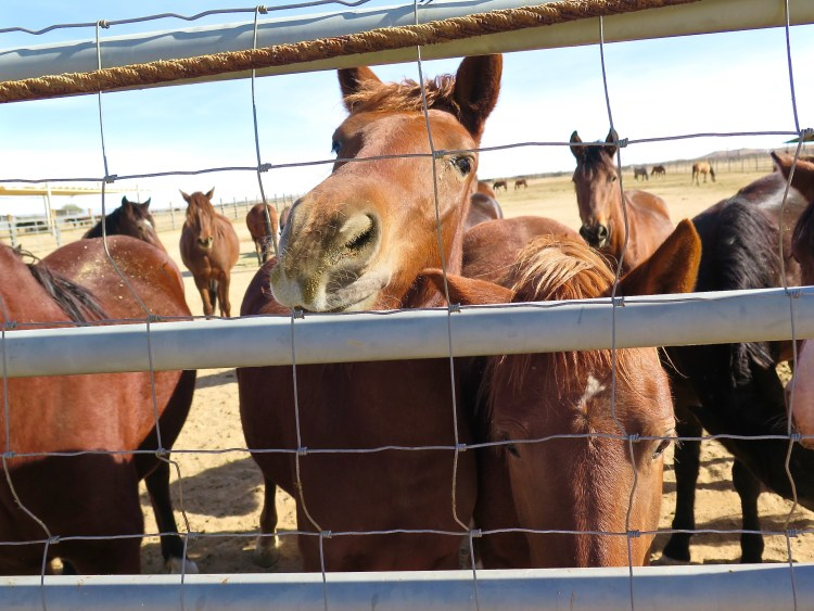 As a result, the cost of keeping the animals is eating the majority of the BLM's Wild Horse and Burro Program budget.