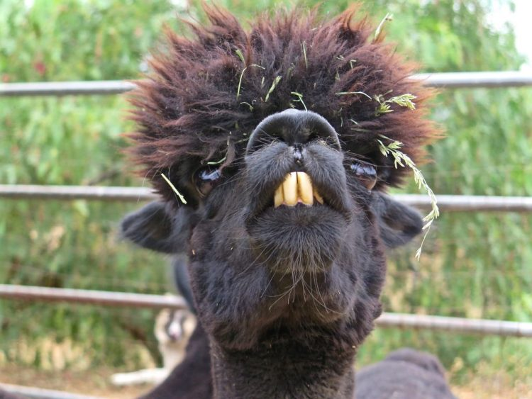 Their annual 'haircuts' definitely give these alpacas a unique look.