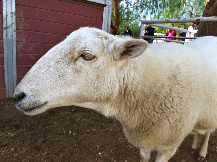 """Toulouse lived in a home with a family who loved her. She even watched TV with them. When the neighbors complained to animal control and threw bricks at her, Toulouse was brought to The Gentle Barn for her own safety. It took a long time to get used to the barnyard and the other animals, but she is quite at home now."""
