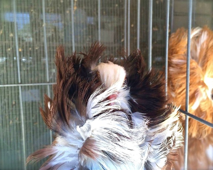 They are bred by pigeon fanciers for various traits relating to size, shape, color, and behavior, who often exhibit their birds at pigeon shows, fairs and other livestock exhibits.