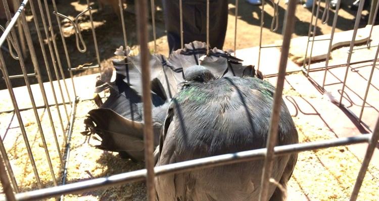 Fantails look like little sumo-wrestling turkeys.