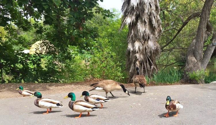 Duck, duck, duck, duck, duck, goose, goose!