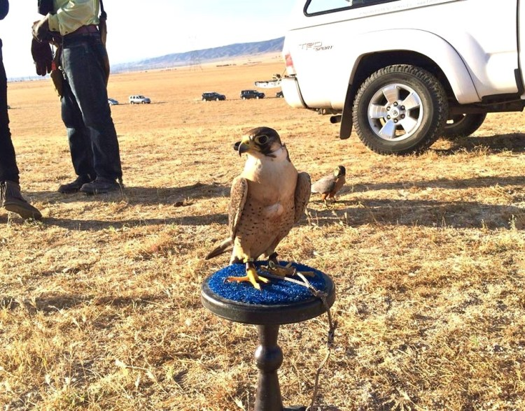 EAST TEXAS RED is a 1 year old male Barbary Falcon...