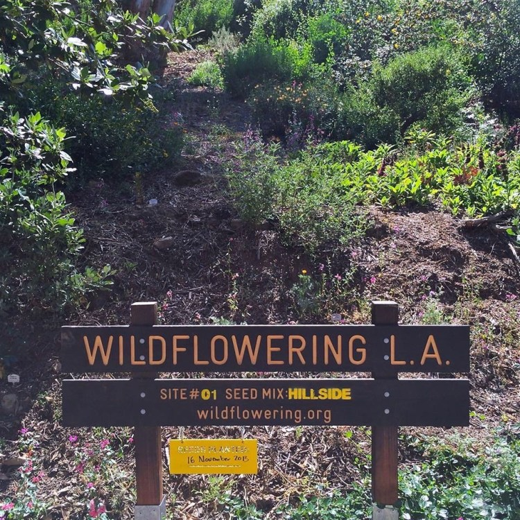 "#01 – Silver Lake 2625 Adelbert Avenue, Los Angeles 90039 Hillside above public street / MARCH REPORT: ""surviving plants are in clumps, mainly clarkias and phacelias."