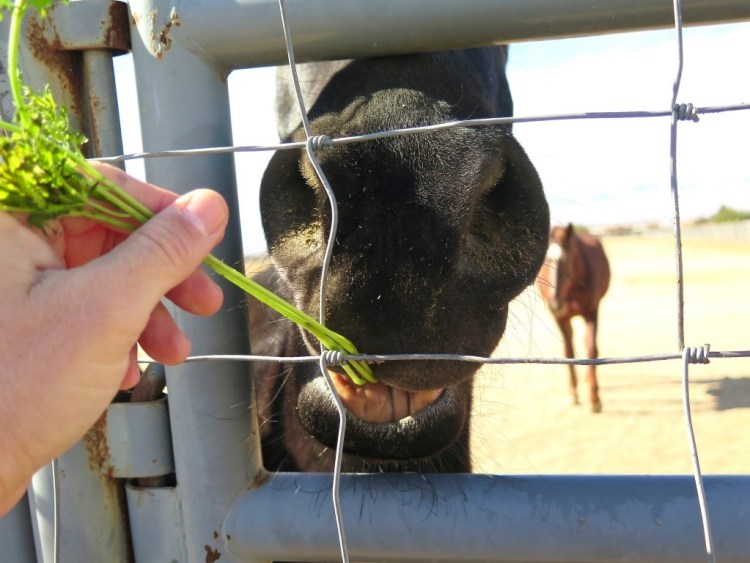 Don't get me wrong, all the animals at the BLM corrals appeared to be well taken care of and there was some interaction with them, but was this interaction genuine or was it because I had a bag full of carrots?