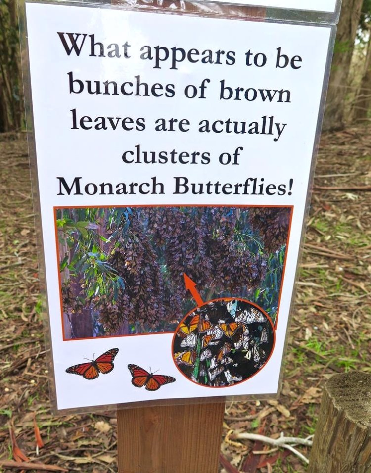 Their favorite place to sleep is in eucalyptus and pine trees along the California coast. In the morning, when sunshine warms the trees, basketball-sized clusters of butterflies rustle and stir.