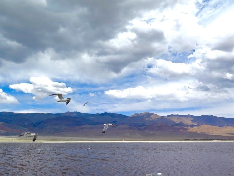 Birds that utilize this habitat travel from as far south as South America and as far north as Canada. Over 100 different species of birds have been observed at Owens Lake. In a single day during peak migration, over 75,000 birds can be observed using Owens Lake. Fewer numbers of birds breed and winter at Owens Lake during other parts of the year.