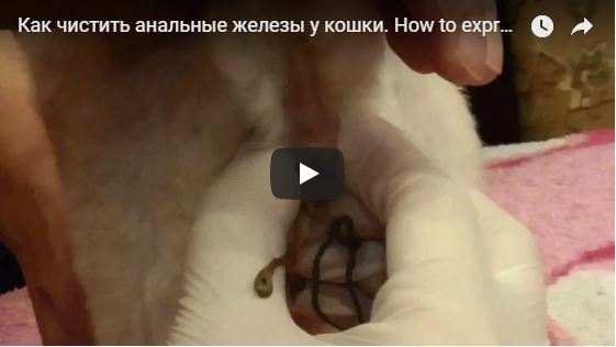 Воспаление пероральной железы у кошки. Непростое параанальное воспаление у кошки — опасная патология