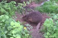 Uwalnianie bobra (3)