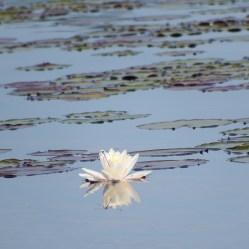 Lilly pad and dragonfly