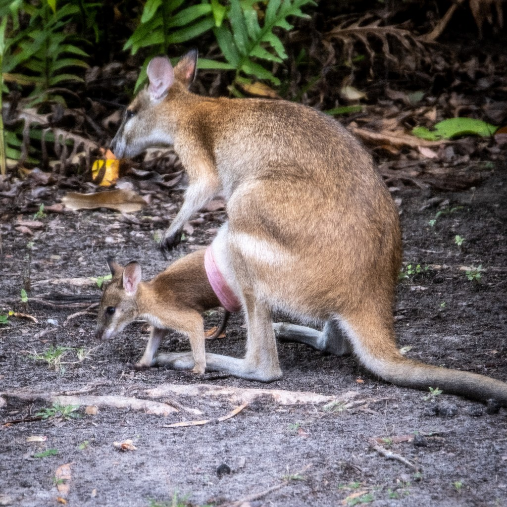 A Joey leaves the safety of its mothers pouch to take a look at he surroundings. It knows that a safe place is always nearby if needed