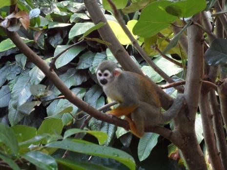 Ape in Zeipzig Zoo