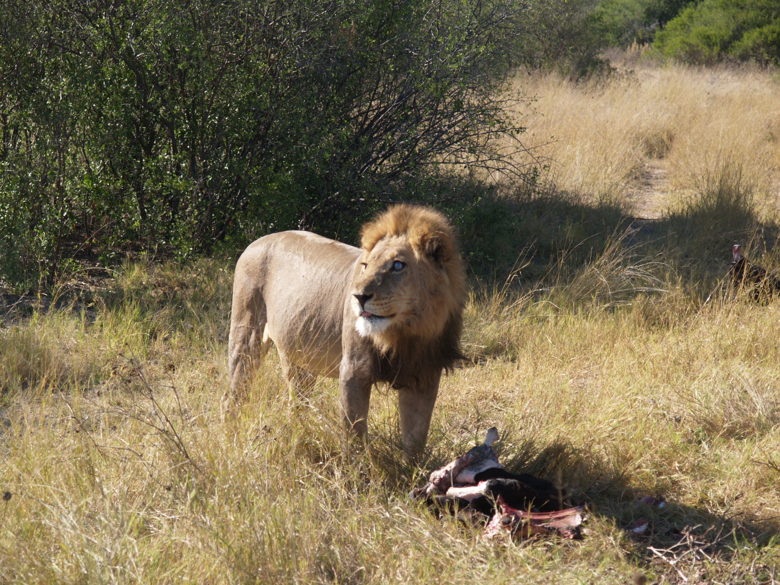 Lion Over Kill