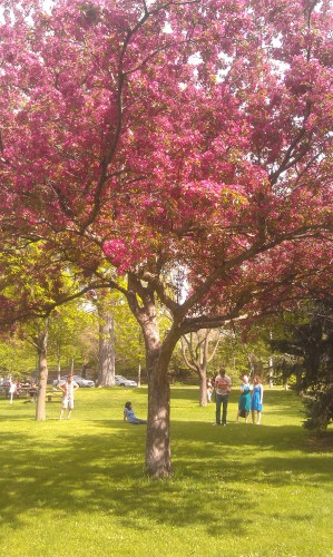 In late May the several trees in the park blossom and turn a vibrant fuschia.