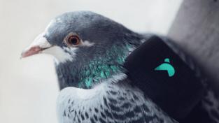 pigeon air patrol