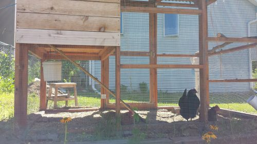 Backyard (or Sideyard?) Chickens at Ulysses and 28th Ave