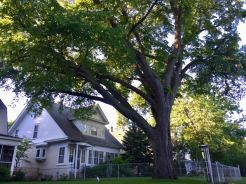 Minneapolis Heritage/MN State Champion American elm