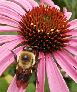 Bee Echinacea