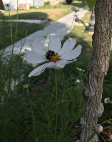Close up of white cosmos bloom with bumble bee on it