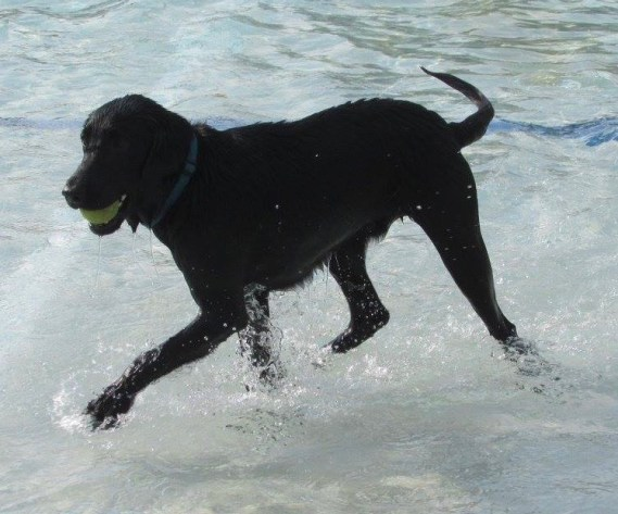 Black labrador retriever in pool with tennis ball in mouth