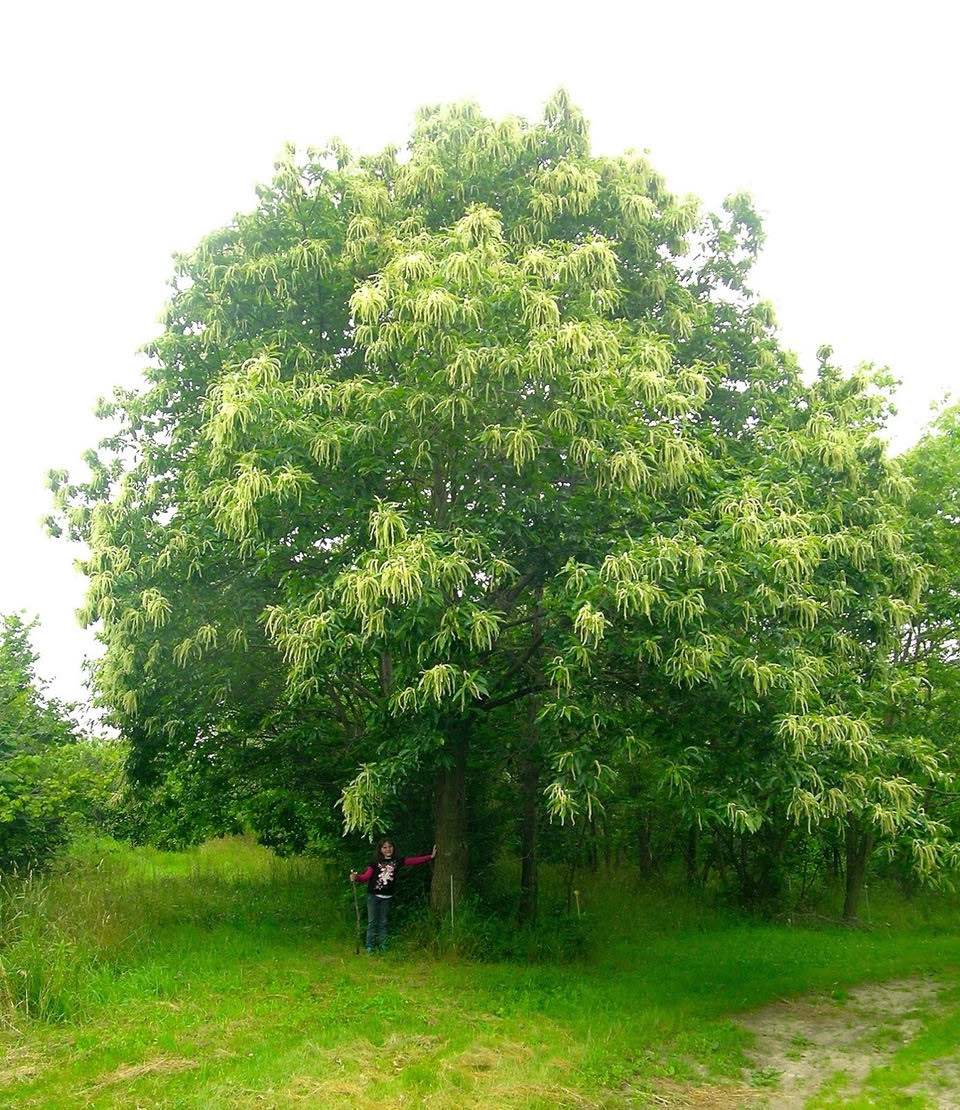 Large green tree with person just visible standing at botom
