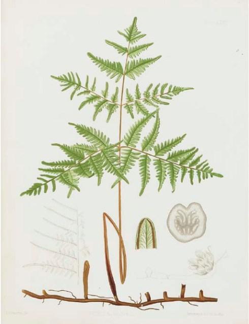 Ferns of North America 2