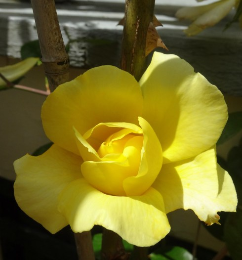 Yellow roses 049