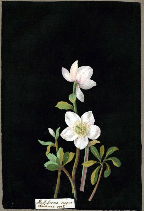 Hellebore Mary Delaney BM 1770s