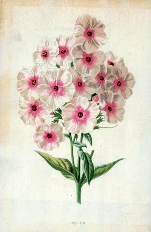 Phlox Hulme VA 19th century