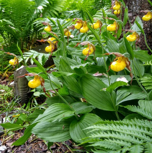 lady slippers 3