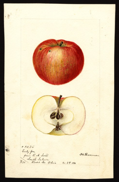 apple-early-joe