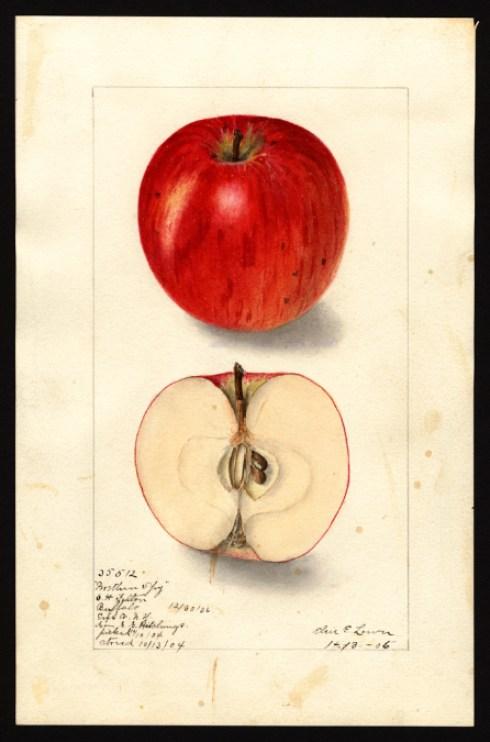 apple-northern-spy
