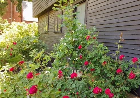 June Roses 3