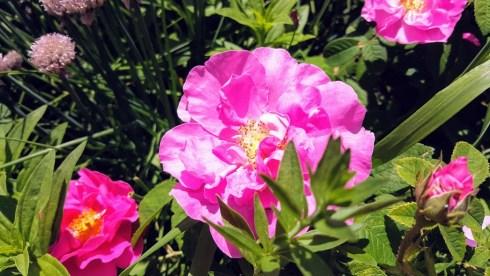 June Roses 7