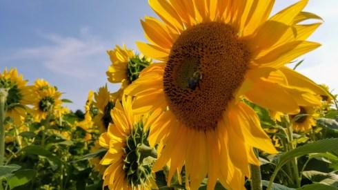 Bee Sunflowers Closeup