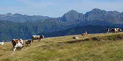 Vaches en alpage