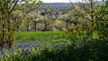 Obstwiesen in Burgbernheim