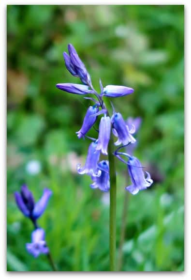 Bluebell close up