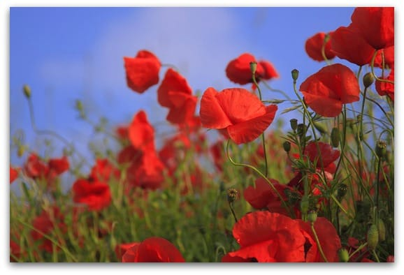 poppies are very symbolic flowers
