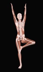 Female medical skeleton in a yoga position