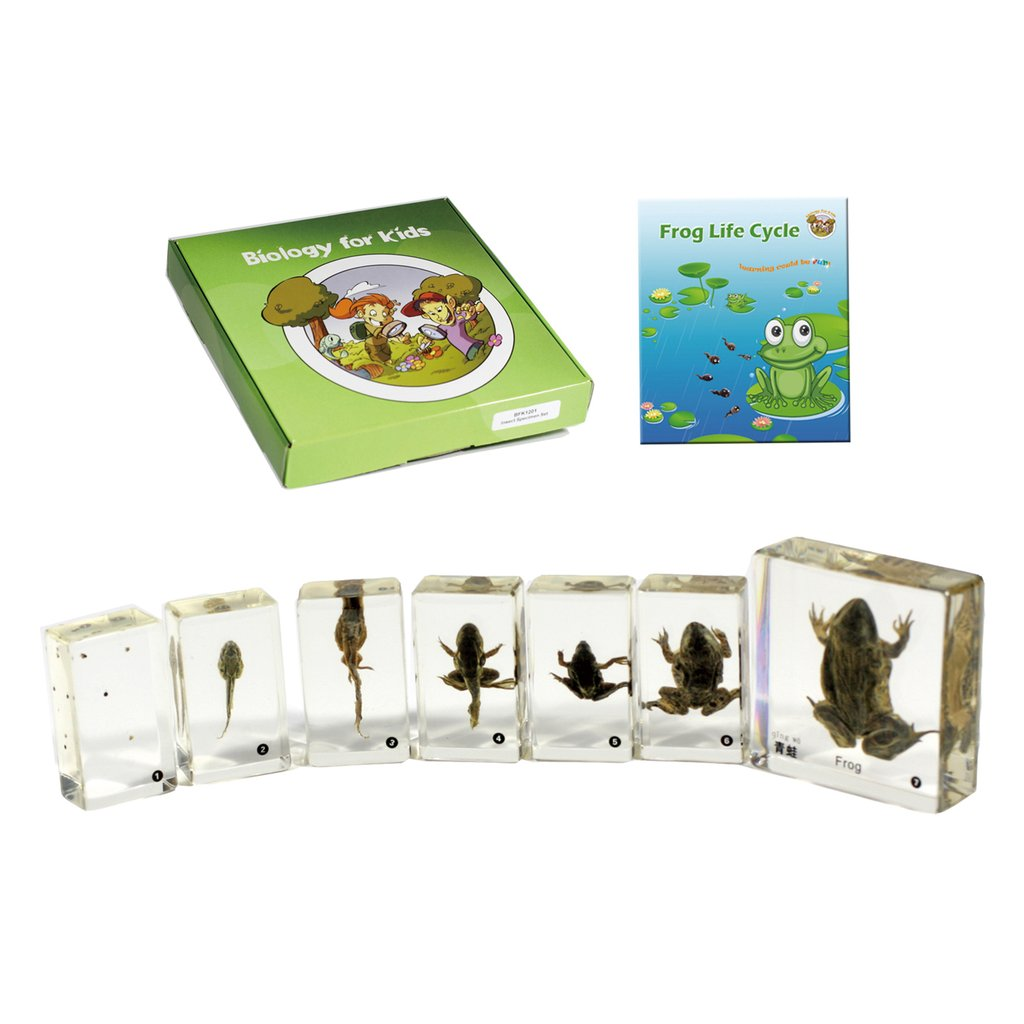 Biology For Kids Frog Life Cycle