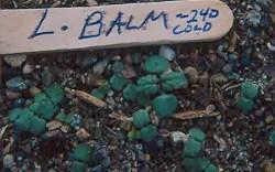 lemon-balm-seedlings-seed-plant