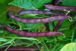 Phaseolus lunatus 10+ seeds HUGE and FINE! Moon Bean